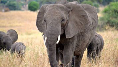 Dream about Elephant Meanings, Elephant Dream Interpretation