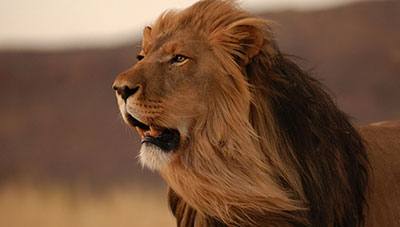 Dream about Lion Meanings and Interpretation