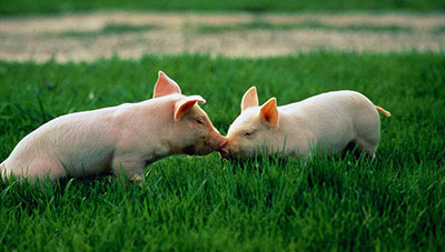 Pig Dream Meanings and Interpretation