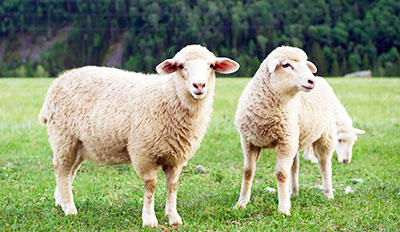 Dream about Sheep, Goat or Lamb Meanings and Interpretation